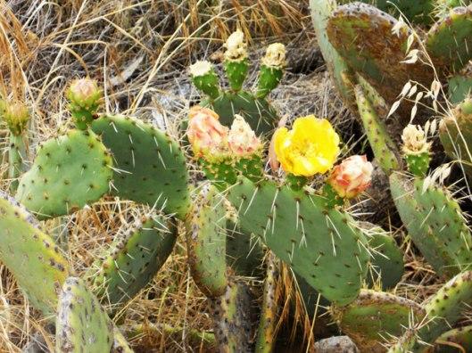 cactus-blooms
